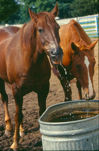 Horse Drinking from Stock Tank
