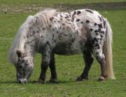 Shetland_pony_dalmatian2