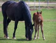 foal-422114_1280