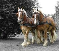 draft-horse-531637__180