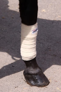 bandage on the leg of horse