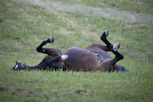 rollinghorse