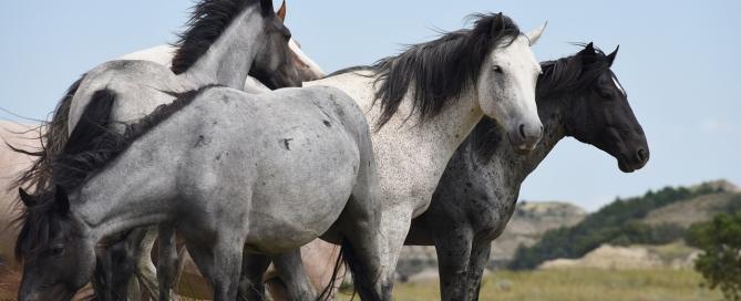 feral-horses-1374031_1280