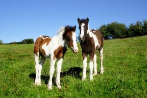 foals-1746730_1920