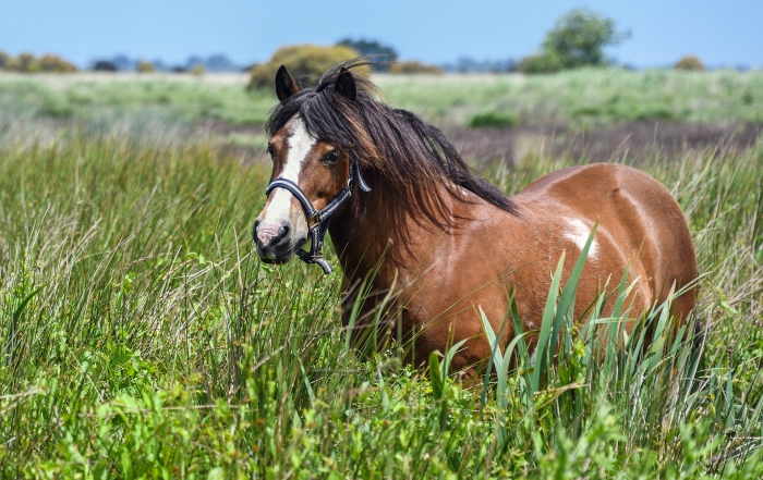 Equine Metabolic Syndrome and all it Entails