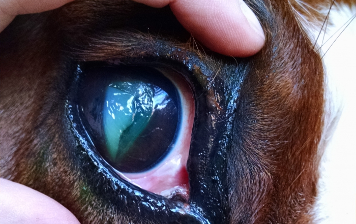 Ophthalmic Emergencies: When is a goopy eye more than just a mild irritation?